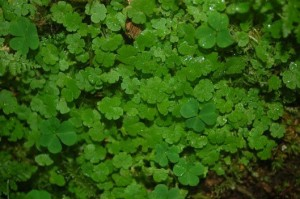 cornish-moneywort