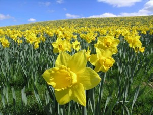 daffodils-02