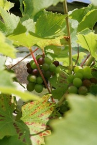 grapes-in-the-gardens