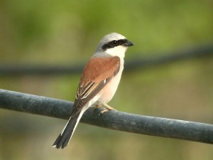 red-backed-shrike