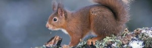 red-squirrels-at-trelowarren