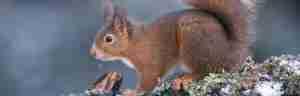 red-squirrels-at-trelowarren